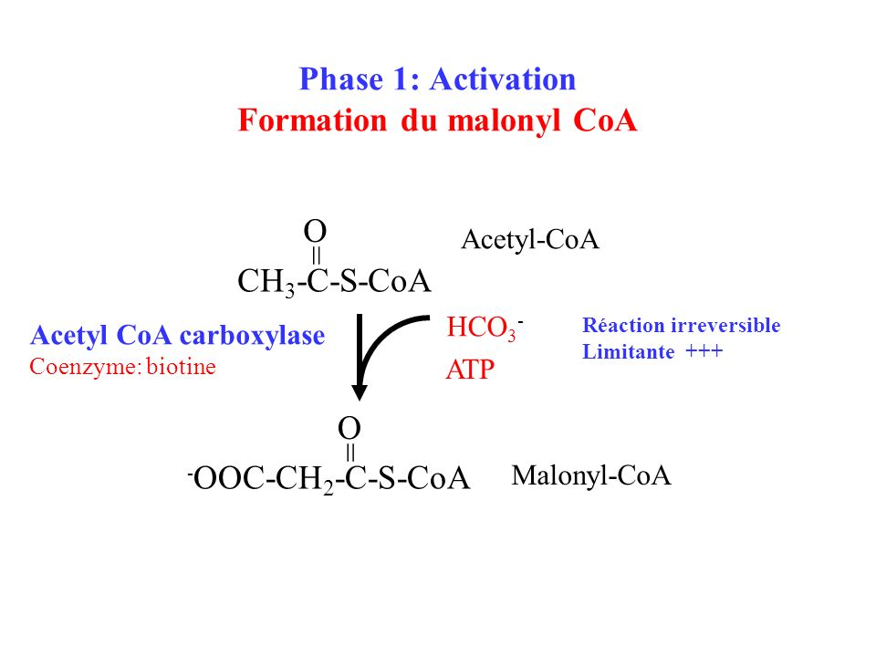 Phase 1: Activation Formation du malonyl CoA CH 3 -C-S-CoA = O HCO 3 - - OOC-CH 2 -C-S-CoA = O Acetyl-CoA Malonyl-CoA Acetyl CoA carboxylase Coenzyme: