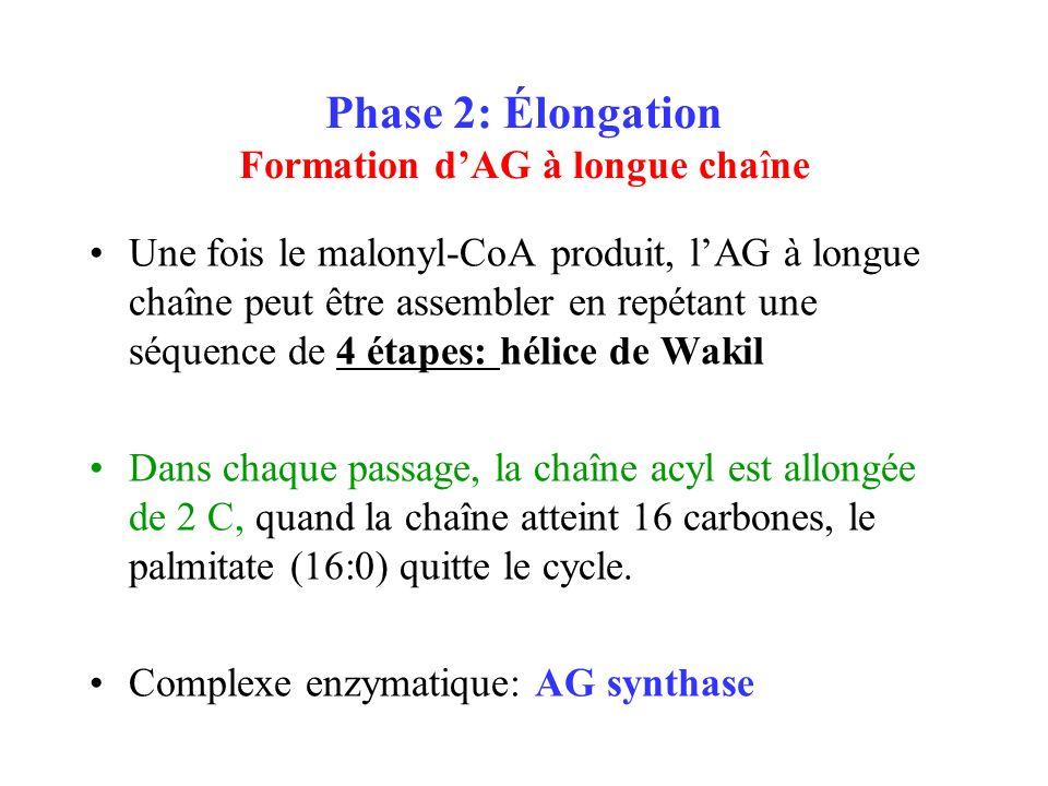 Phase 2: Élongation Formation dAG à longue chaîne Une fois le malonyl-CoA produit, lAG à longue chaîne peut être assembler en repétant une séquence de 4 étapes: hélice de Wakil Dans chaque passage, la chaîne acyl est allongée de 2 C, quand la chaîne atteint 16 carbones, le palmitate (16:0) quitte le cycle.