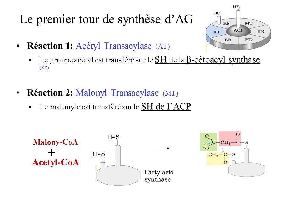 Le premier tour de synthèse dAG Réaction 1: Acétyl Transacylase (AT) Le groupe acétyl est transféré sur le SH de la β-cétoacyl synthase (KS ) Réaction 2: Malonyl Transacylase (MT) Le malonyle est transféré sur le SH de lACP H H Malony-CoA Acetyl-CoA +