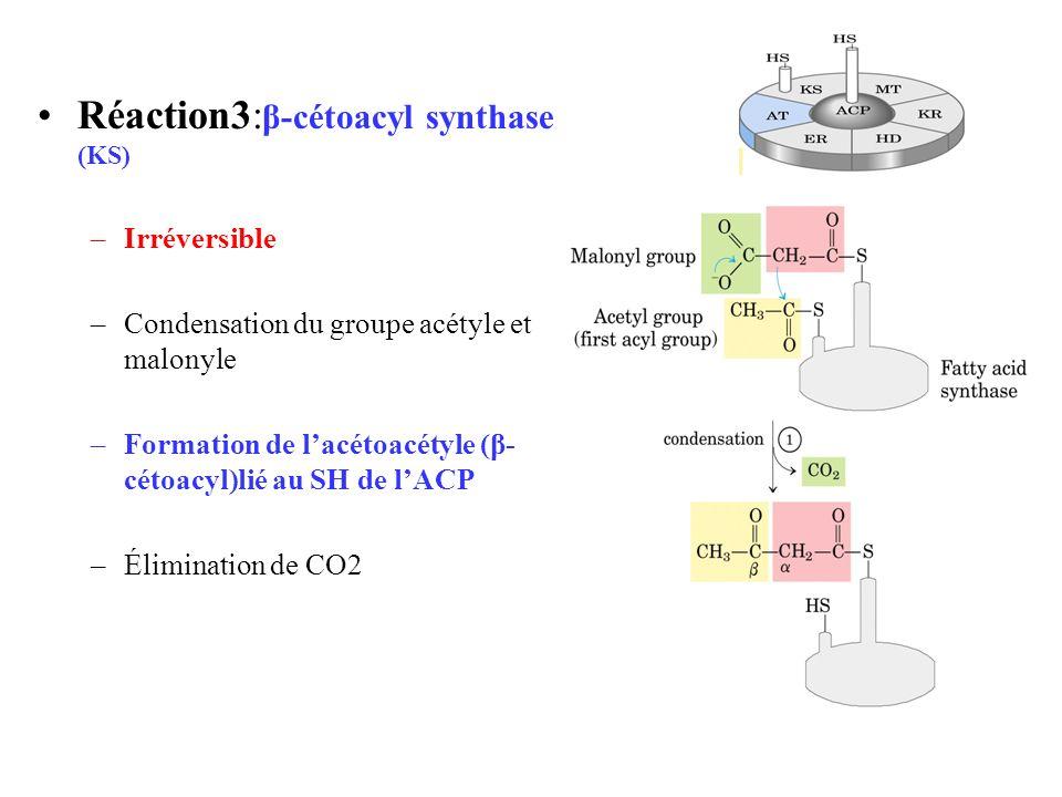 Réaction3: β-cétoacyl synthase (KS) –Irréversible –Condensation du groupe acétyle et malonyle –Formation de lacétoacétyle (β- cétoacyl)lié au SH de lACP –Élimination de CO2