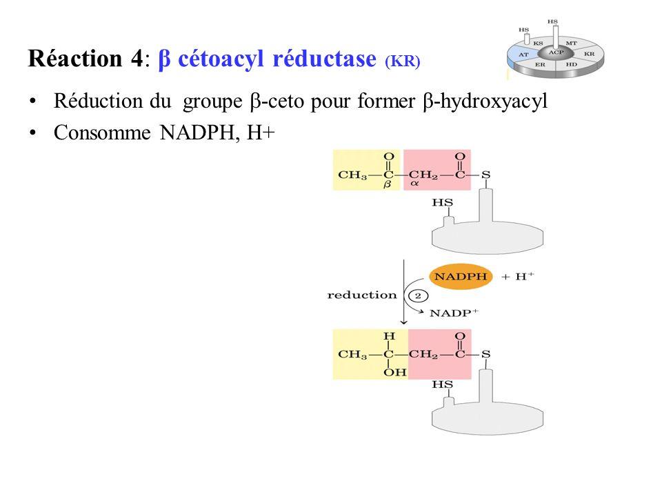 Réaction 4: β cétoacyl réductase (KR) Réduction du groupe -ceto pour former β-hydroxyacyl Consomme NADPH, H+