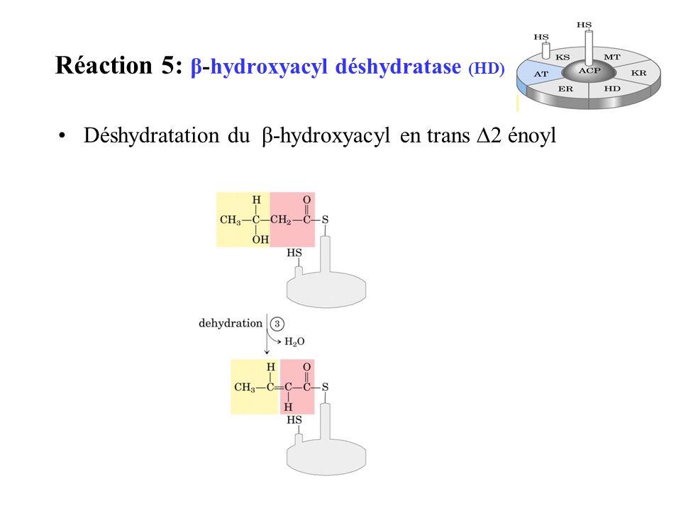 Réaction 5: β-hydroxyacyl déshydratase (HD) Déshydratation du β-hydroxyacyl en trans 2 énoyl