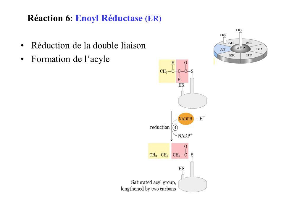 Réduction de la double liaison Formation de lacyle Réaction 6: Enoyl Réductase (ER)