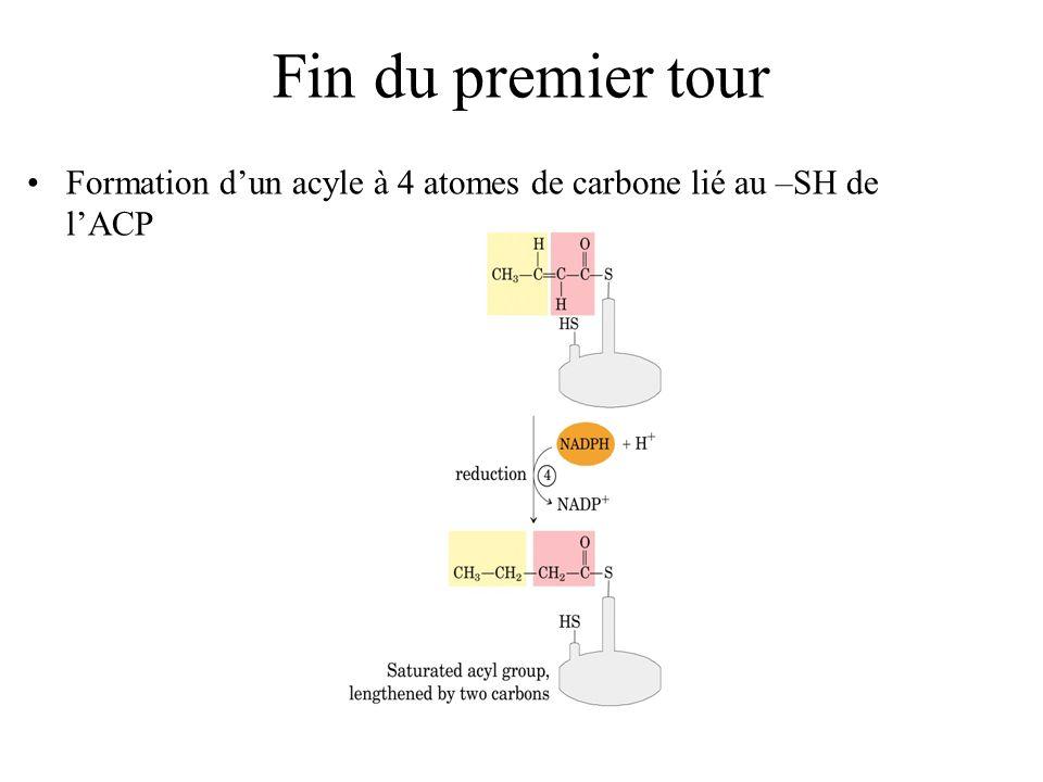 Fin du premier tour Formation dun acyle à 4 atomes de carbone lié au –SH de lACP