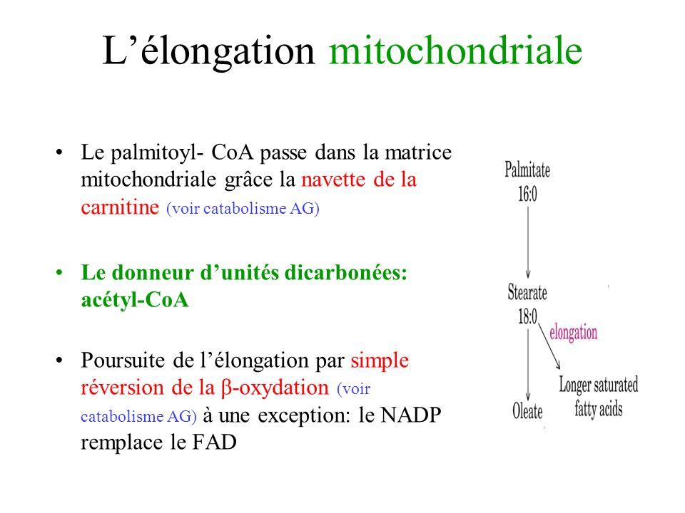 Lélongation mitochondriale Le palmitoyl- CoA passe dans la matrice mitochondriale grâce la navette de la carnitine (voir catabolisme AG) Le donneur dunités dicarbonées: acétyl-CoA Poursuite de lélongation par simple réversion de la β-oxydation (voir catabolisme AG) à une exception: le NADP remplace le FAD