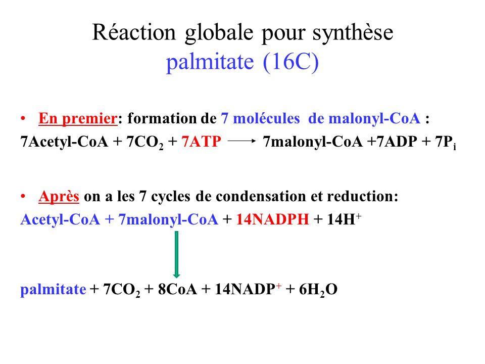 Réaction globale pour synthèse palmitate (16C) En premier: formation de 7 molécules de malonyl-CoA : 7Acetyl-CoA + 7CO 2 + 7ATP 7malonyl-CoA +7ADP + 7P i Après on a les 7 cycles de condensation et reduction: Acetyl-CoA + 7malonyl-CoA + 14NADPH + 14H + palmitate + 7CO 2 + 8CoA + 14NADP + + 6H 2 O