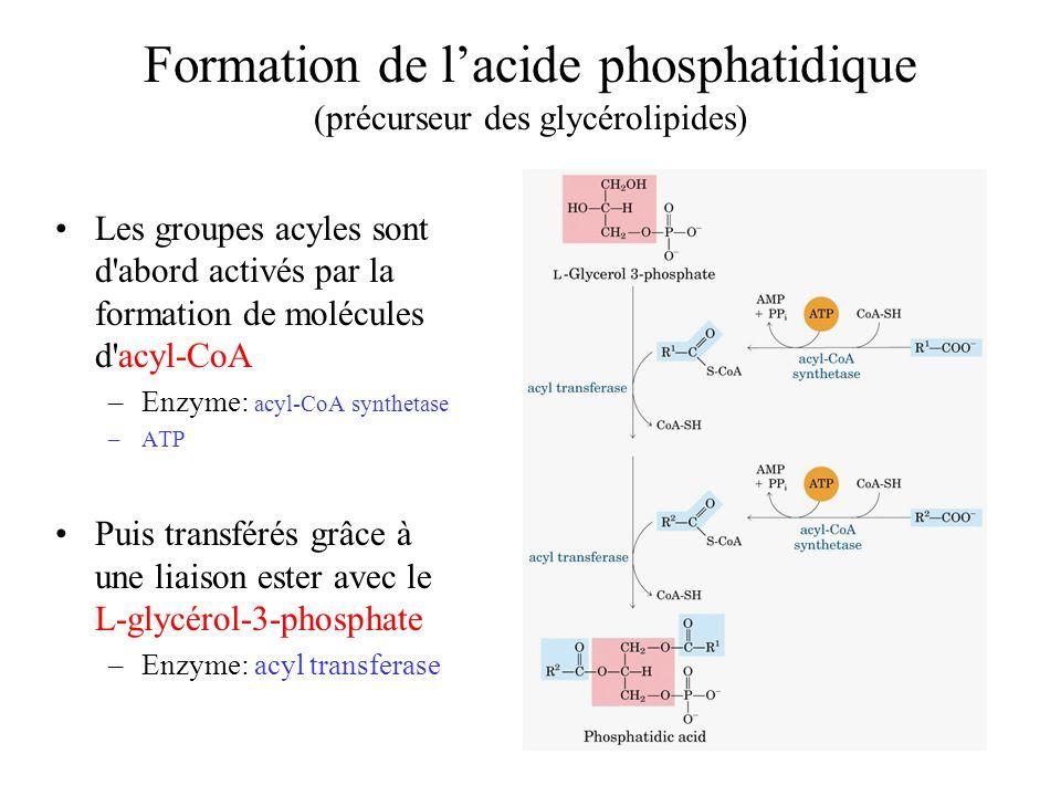 Formation de lacide phosphatidique (précurseur des glycérolipides) Les groupes acyles sont d abord activés par la formation de molécules d acyl-CoA –Enzyme: acyl-CoA synthetase –ATP Puis transférés grâce à une liaison ester avec le L-glycérol-3-phosphate –Enzyme: acyl transferase