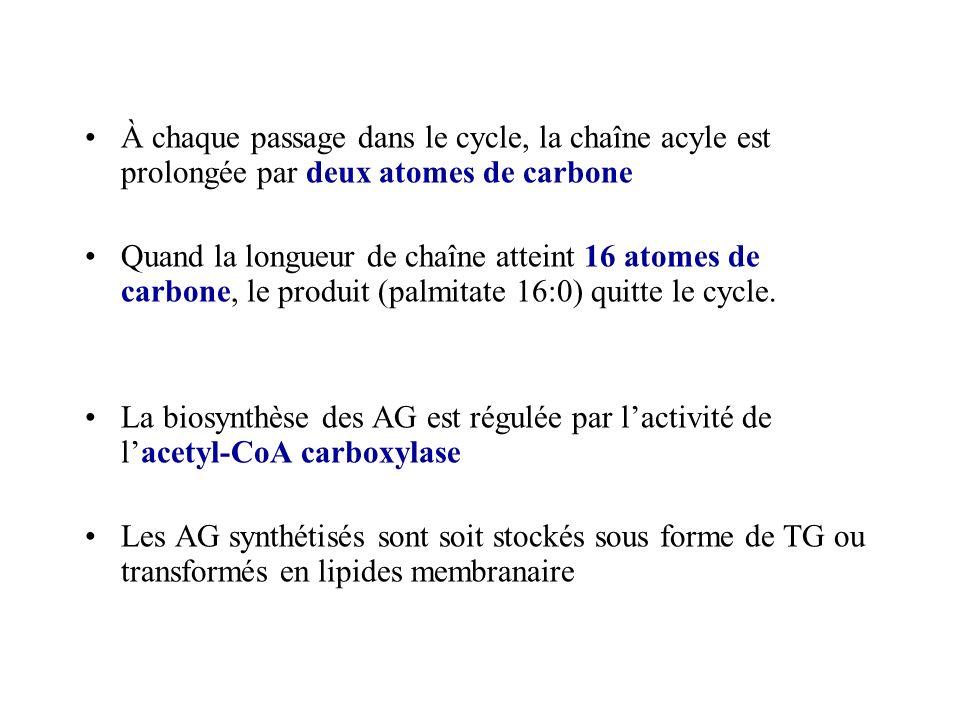 À chaque passage dans le cycle, la chaîne acyle est prolongée par deux atomes de carbone Quand la longueur de chaîne atteint 16 atomes de carbone, le produit (palmitate 16:0) quitte le cycle.