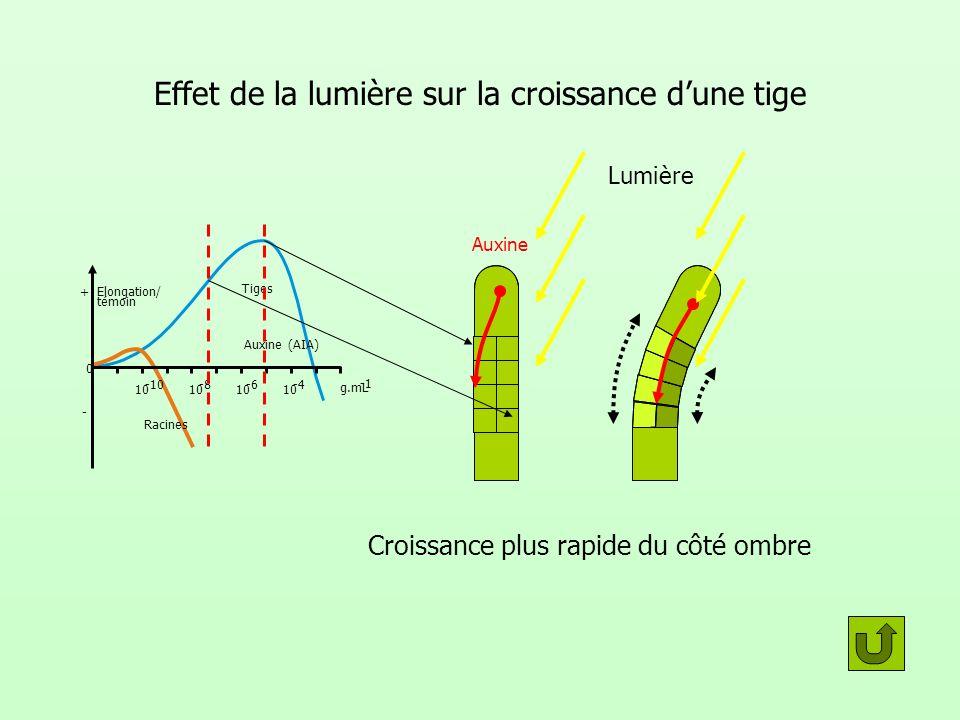 Effet de la lumière sur la croissance dune tige témoin 0 Racines Tiges Auxine (AIA) g.mL 10 -10 10 -8 10 -6 10 -4 Elongation/ + - Lumière Auxine Crois
