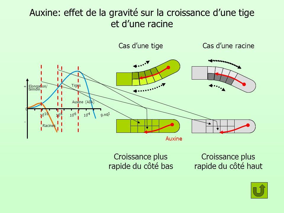 Auxine: effet de la gravité sur la croissance dune tige et dune racine témoin 0 Racines Tiges Auxine (AIA) g.mL 10 -10 10 -8 10 -6 10 -4 Elongation/ +