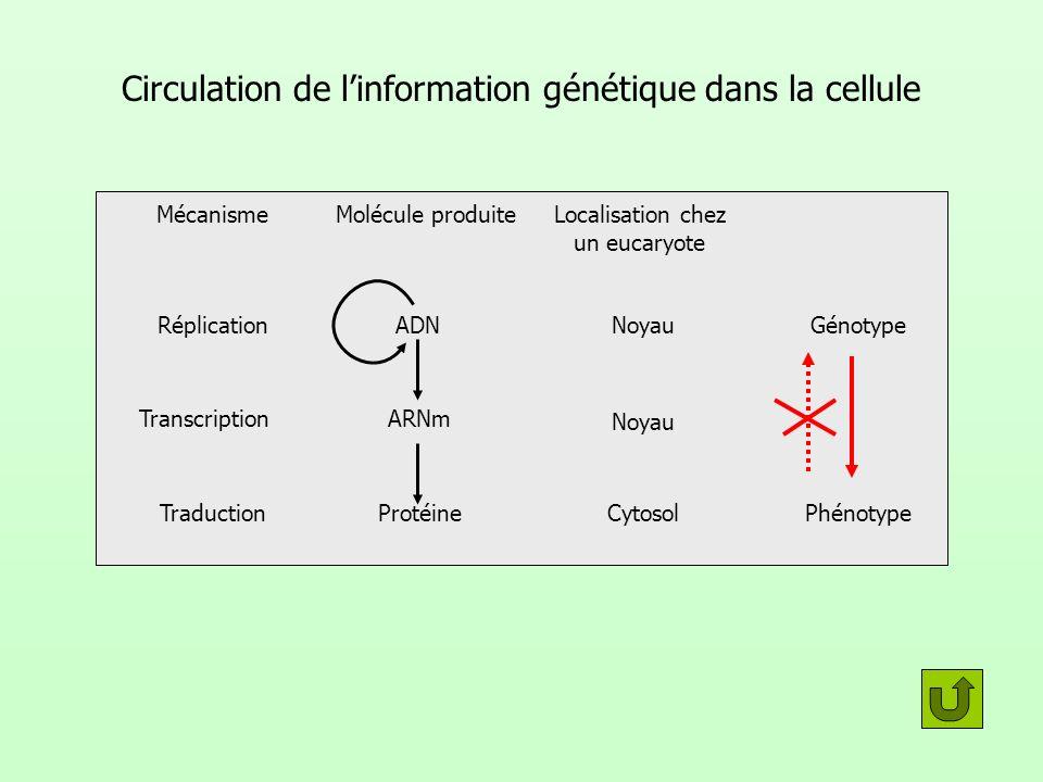 Circulation de linformation génétique dans la cellule MécanismeMolécule produiteLocalisation chez un eucaryote Réplication Transcription Traduction AD