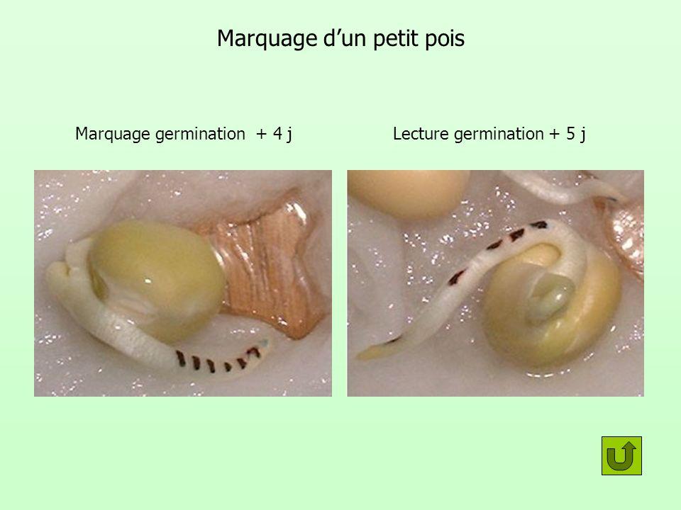 Marquage dun petit pois Marquage germination + 4 jLecture germination + 5 j