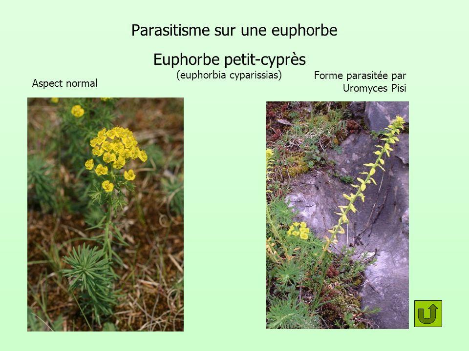 Parasitisme sur une euphorbe Euphorbe petit-cyprès (euphorbia cyparissias) Forme parasitée par Uromyces Pisi Aspect normal