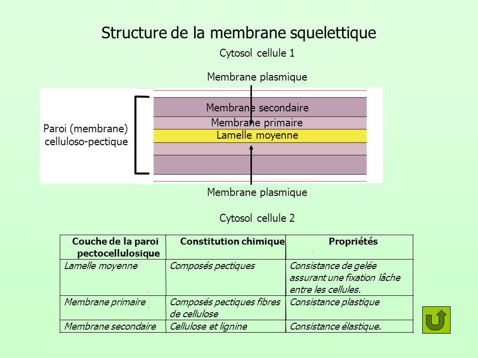 Structure de la membrane squelettique Lamelle moyenne Membrane primaire Membrane secondaire Cytosol cellule 1 Cytosol cellule 2 Membrane plasmique Par