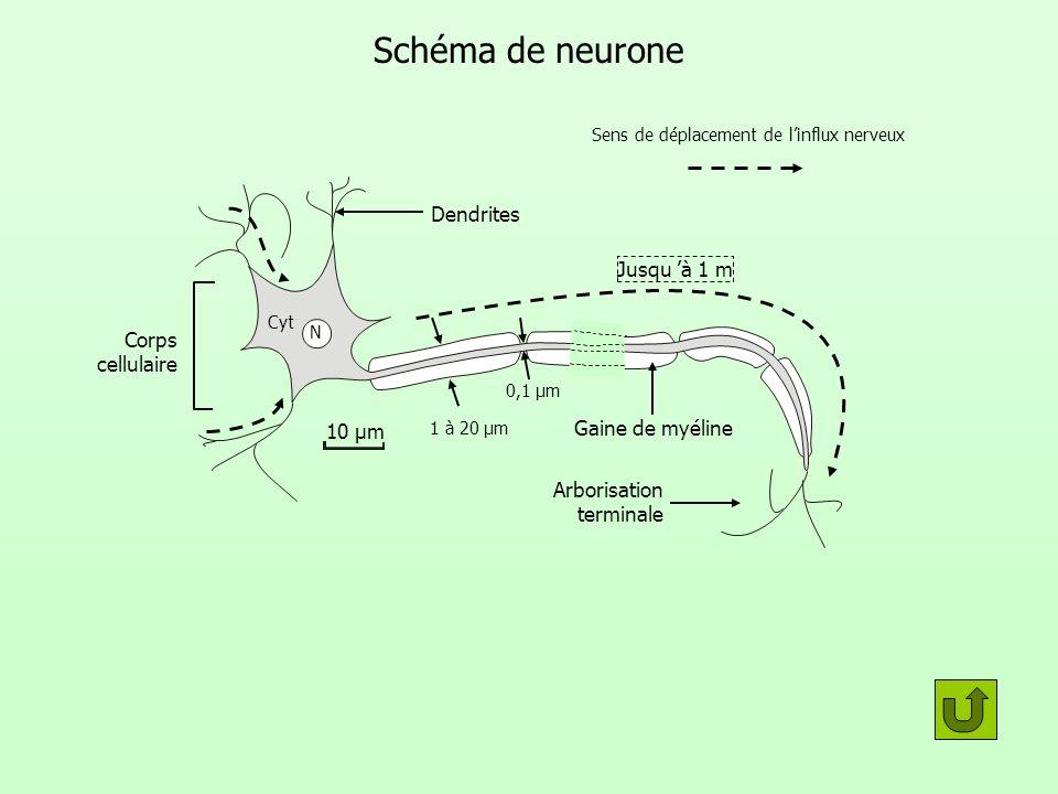 Expériences de section dégénérescence dégénérescence Section Canal épendymaire Nerf rachidien Ganglion rachidien Racine dorsale du nerf rachidien Racine ventrale du nerf rachidien Substance blanche Substance grise (corne ventrale) Coupe transversale de moelle épinière passant par la racine d un nerf rachidien