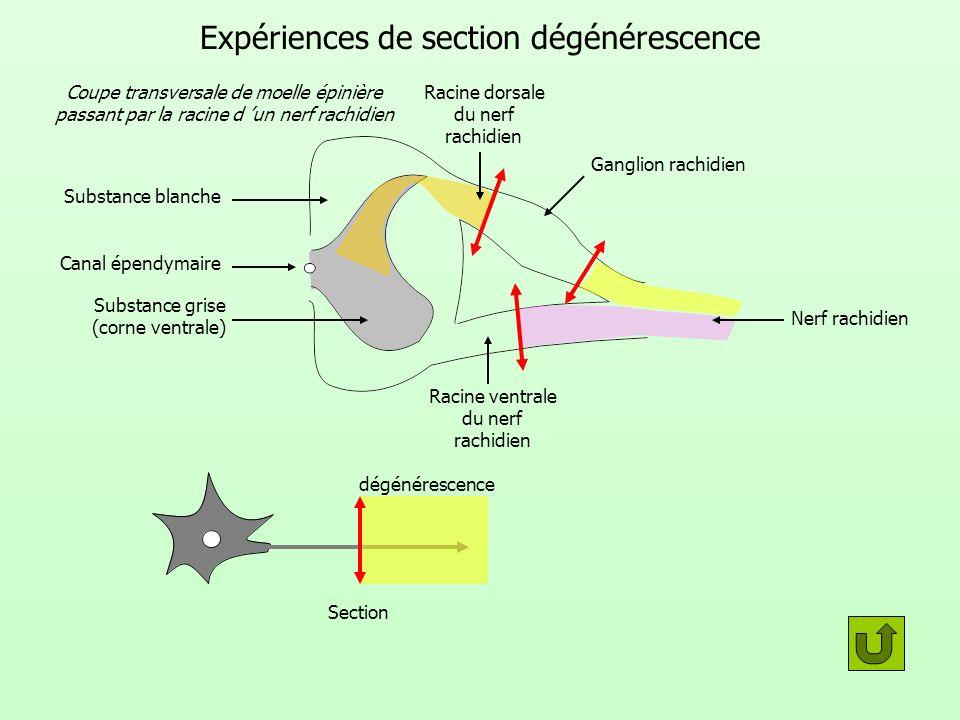 Expériences de section dégénérescence dégénérescence Section Canal épendymaire Nerf rachidien Ganglion rachidien Racine dorsale du nerf rachidien Raci