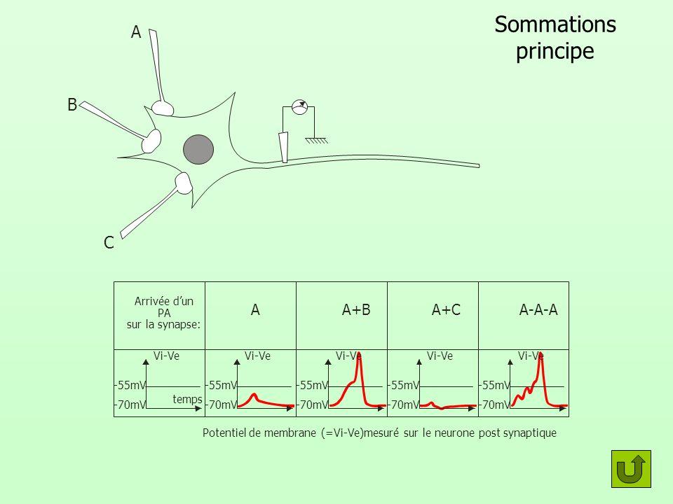 Fonctionnement synapse 2 3 c a b 1 Arrivée d un potentiel d action Cellule post synaptique 1 Arrivée d un PA sur l axone 2 Fusion des vésicules présynaptique avec la membrane 3 Exocytose, libération du neuromédiateur dans l espace synaptique 4 Fixation du neuromédiateur sur les récepteurs des protéines canal post synaptiques 5 Passage d ions provoquant le départ d un potentiel d action dans la cellule post synaptique.