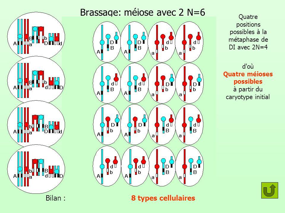 Brassage: méiose avec 2 N=6 Quatre positions possibles à la métaphase de DI avec 2N=4 d où Quatre méioses possibles à partir du caryotype initial Bilan : 8 types cellulaires