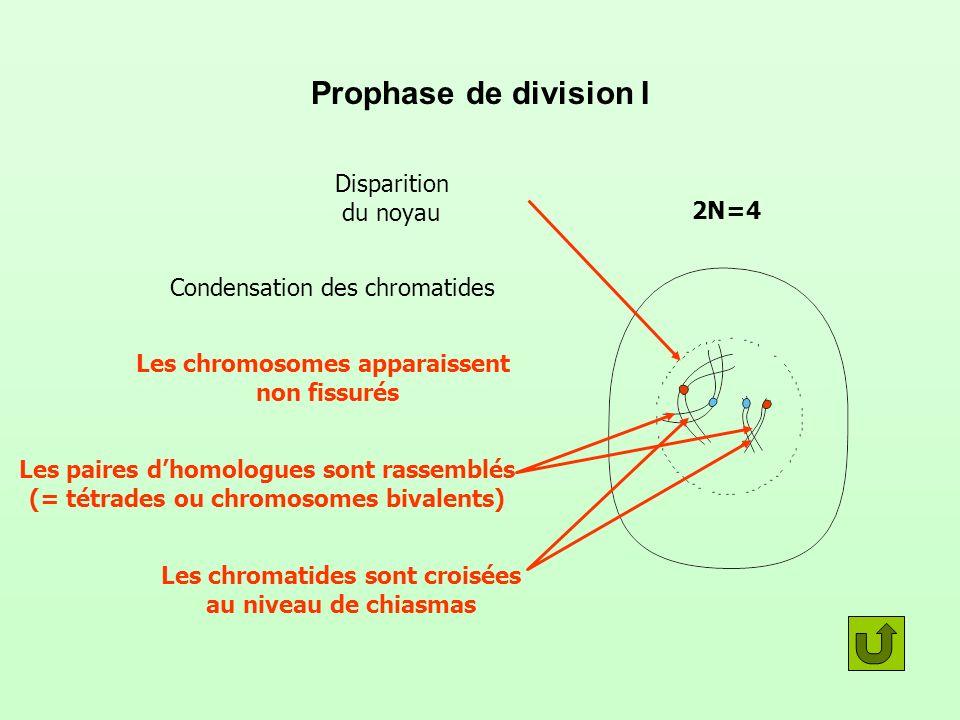 Prophase de division I Disparition du noyau Condensation des chromatides Les chromosomes apparaissent non fissurés Les paires dhomologues sont rassemblés (= tétrades ou chromosomes bivalents) Les chromatides sont croisées au niveau de chiasmas 2N=4