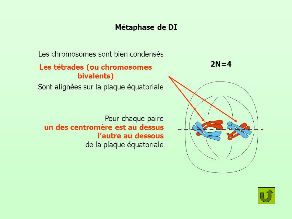 Métaphase de DI Les tétrades (ou chromosomes bivalents) Sont alignées sur la plaque équatoriale Pour chaque paire un des centromère est au dessus lautre au dessous de la plaque équatoriale Les chromosomes sont bien condensés 2N=4