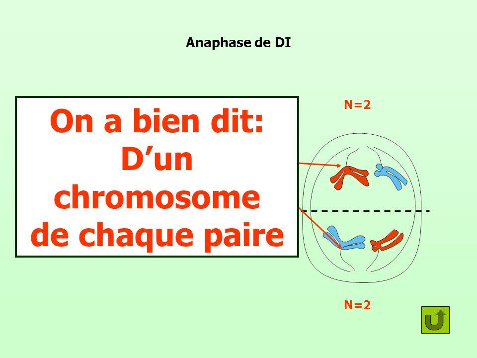 Anaphase de DI Il y a ascension polaire D un chromosome de chaque paire Il y a maintenant N chromosome de chaque côté de la cellule On a bien dit: Dun chromosome de chaque paire N=2