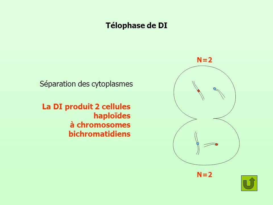 Télophase de DI Séparation des cytoplasmes La DI produit 2 cellules haploïdes à chromosomes bichromatidiens N=2