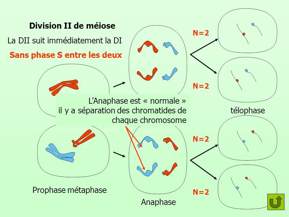 Division II de méiose La DII suit immédiatement la DI Sans phase S entre les deux Prophase métaphase Anaphase télophase LAnaphase est « normale » il y a séparation des chromatides de chaque chromosome N=2
