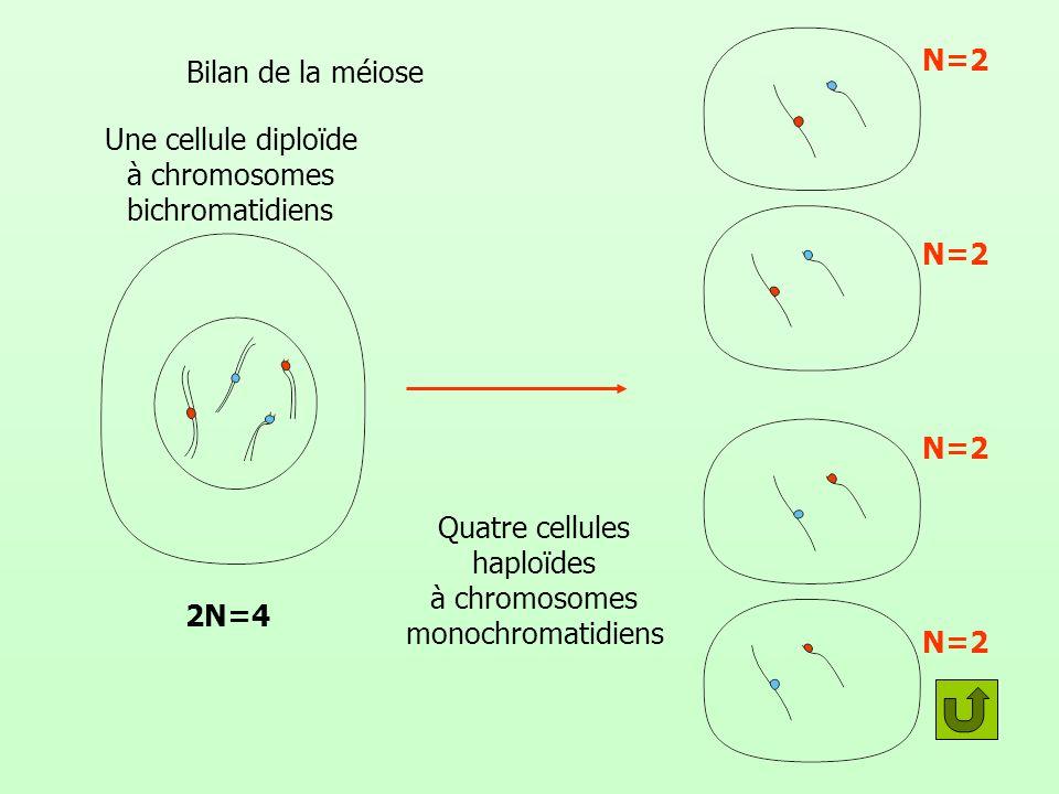 Bilan de la méiose Une cellule diploïde à chromosomes bichromatidiens Quatre cellules haploïdes à chromosomes monochromatidiens N=2 2N=4