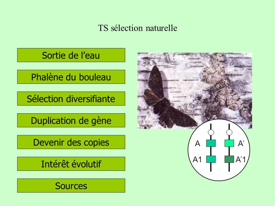 TS sélection naturelle Sélection diversifiante Phalène du bouleau Duplication de gène Sortie de leau Devenir des copies Intérêt évolutif Sources A A1