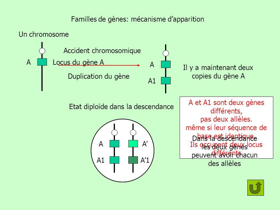 Familles de gènes: mécanisme dapparition Locus du gène A Un chromosome A Accident chromosomique A A1 Il y a maintenant deux copies du gène A Attention