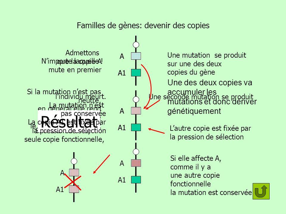 A Familles de gènes: devenir des copies A A1 Une mutation se produit sur une des deux copies du gène Si la mutation nest pas neutre, en général elle r