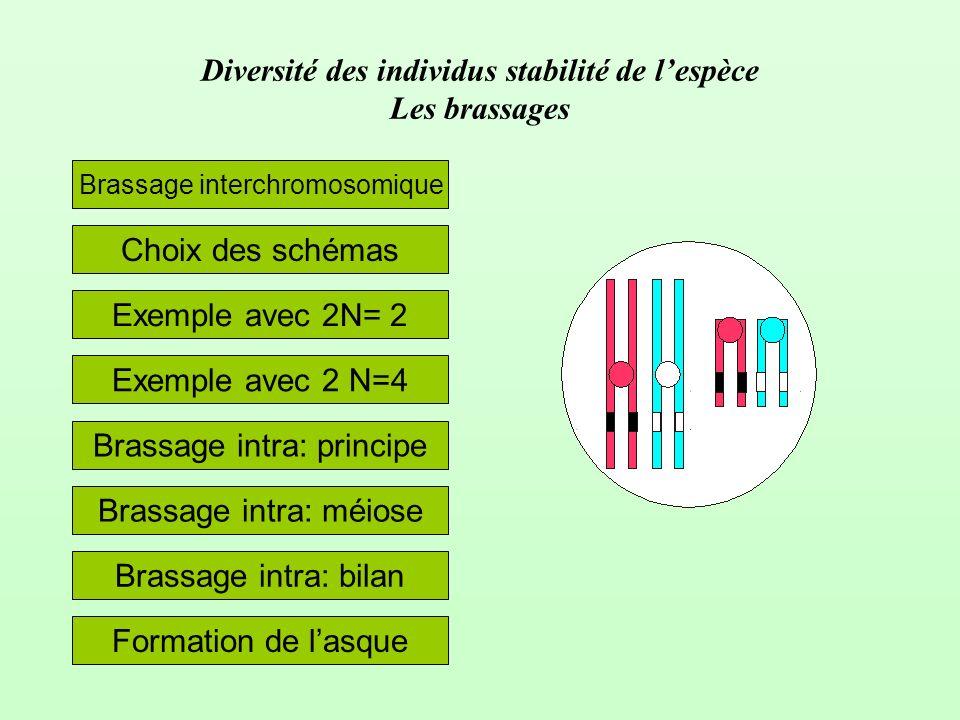 Diversité des individus stabilité de lespèce Les brassages Choix des schémas Brassage interchromosomique Exemple avec 2 N=4 Exemple avec 2N= 2 Brassag