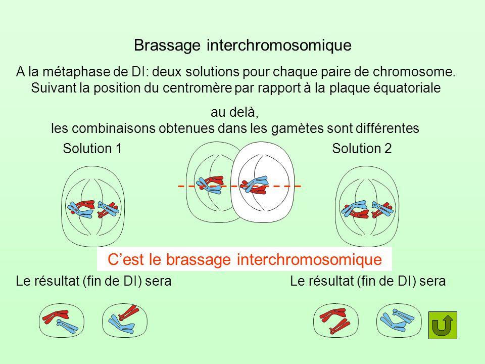 Brassage interchromosomique A la métaphase de DI: deux solutions pour chaque paire de chromosome. Suivant la position du centromère par rapport à la p