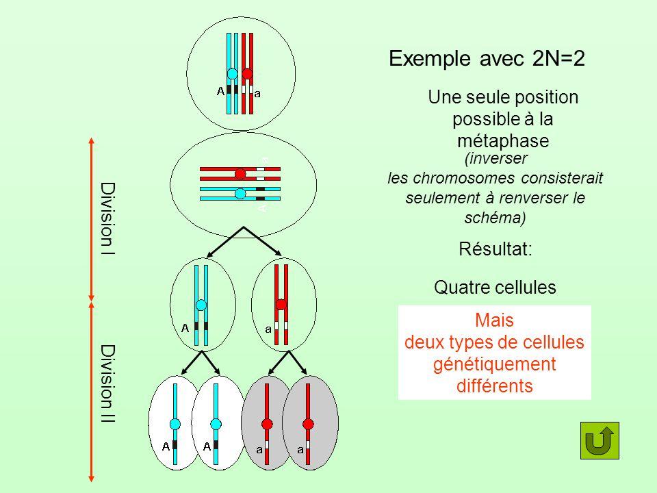 Exemple avec 2N=2 (inverser les chromosomes consisterait seulement à renverser le schéma) Une seule position possible à la métaphase Division I Divisi