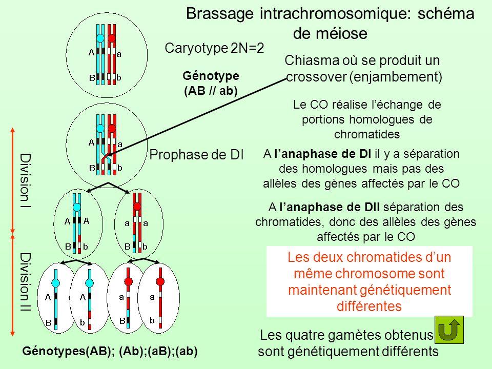 Brassage intrachromosomique: schéma de méiose Caryotype 2N=2 Génotype (AB // ab) Prophase de DI Chiasma où se produit un crossover (enjambement) A lan