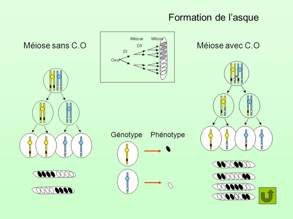 Formation de lasque GénotypePhénotype Méiose sans C.OMéiose avec C.O