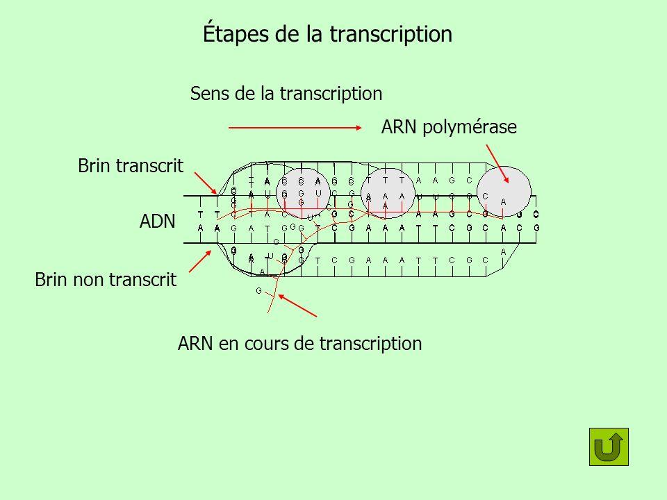 Étapes de la transcription ADN Sens de la transcription ARN polymérase Brin transcrit Brin non transcrit ARN en cours de transcription