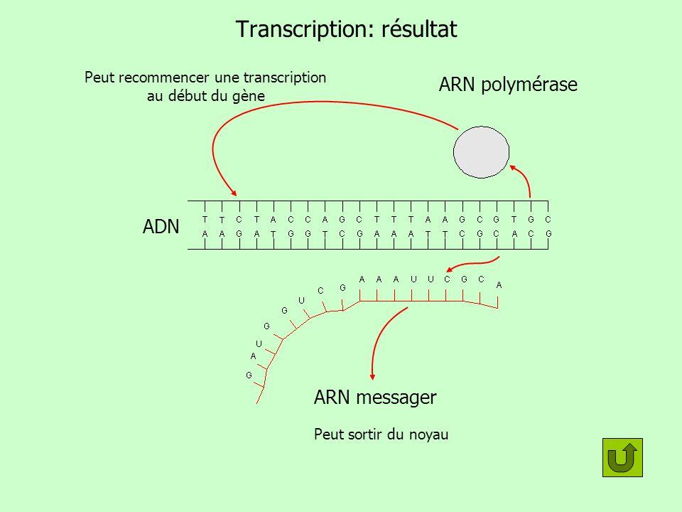 Transcription: résultat ARN messager ARN polymérase Peut recommencer une transcription au début du gène Peut sortir du noyau ADN