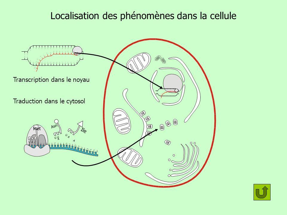 Localisation des phénomènes dans la cellule Transcription dans le noyau Traduction dans le cytosol U U A Asn U A C Met U A A Ile