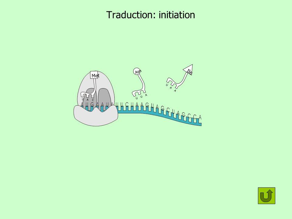Traduction: initiation U U A Asn U A C Met U A A Ile 2 sous unités du ribosome ARNm (messager) ARNt (de transfert) U U A Asn U A C Met U A A Ile