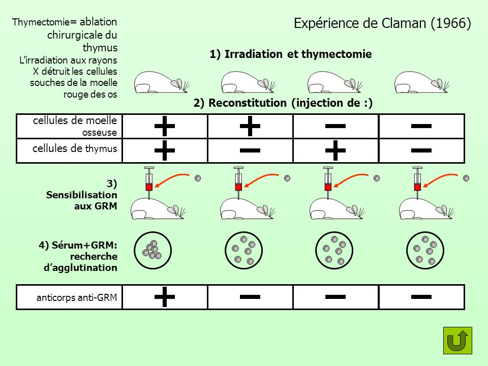 Expérience de Claman (1966) 1) Irradiation et thymectomie 2) Reconstitution (injection de :) cellules de thymus 3) Sensibilisation aux GRM 4) Sérum+GR