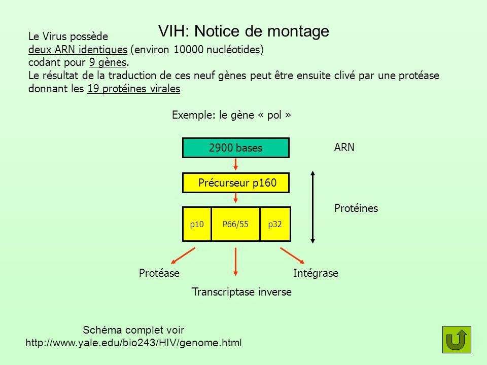 VIH: Notice de montage Le Virus possède deux ARN identiques (environ 10000 nucléotides) codant pour 9 gènes. Le résultat de la traduction de ces neuf