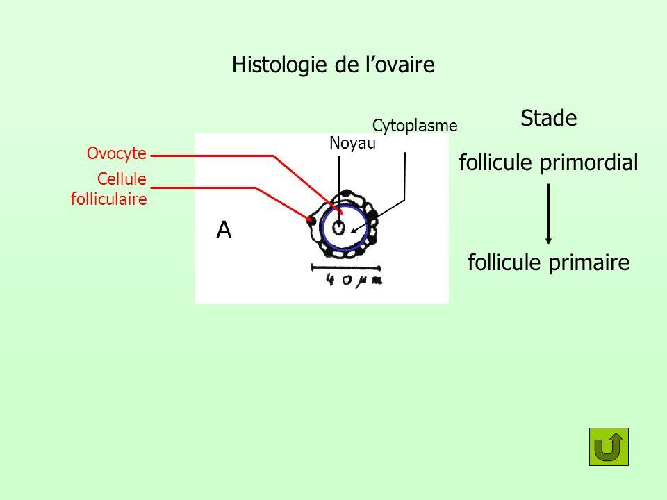 Histologie de lovaire Stade follicule primordial follicule primaire Ovocyte Cellule folliculaire Noyau Cytoplasme