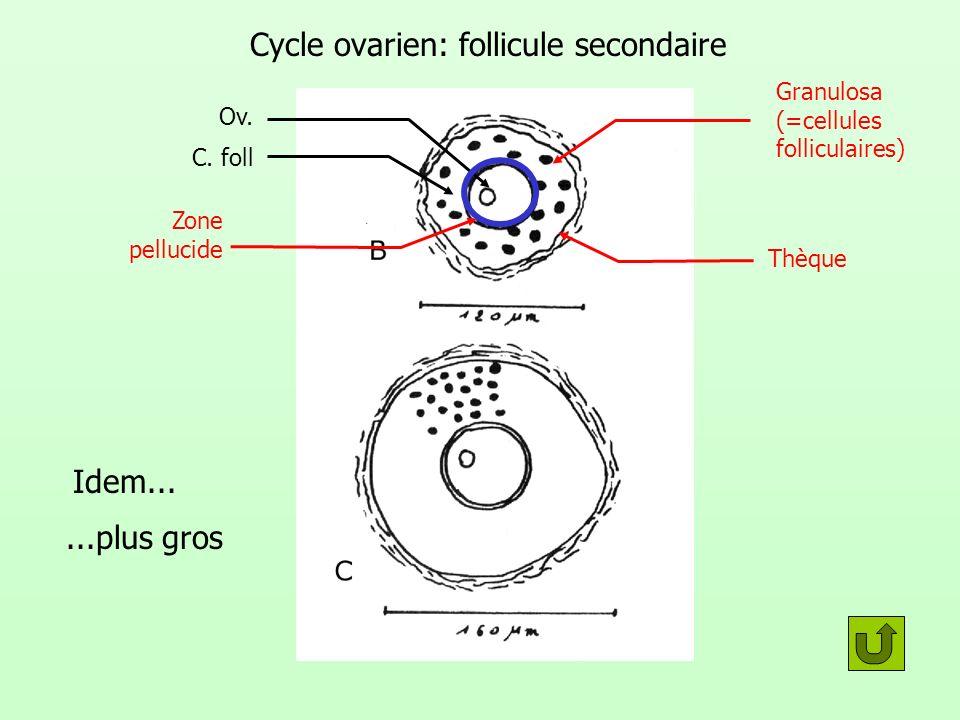 Cycle ovarien: follicule secondaire Granulosa (=cellules folliculaires) Thèque Ov. C. foll Zone pellucide Idem......plus gros