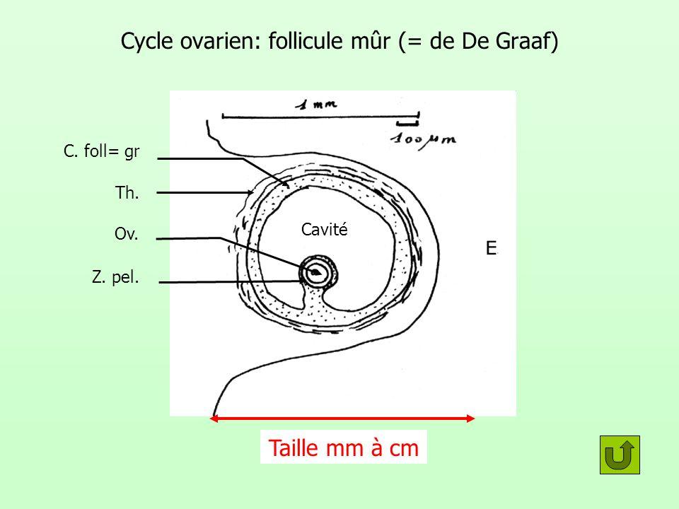 Cycle ovarien: follicule mûr (= de De Graaf) Th. Ov. C. foll= gr Z. pel. Cavité Taille mm à cm