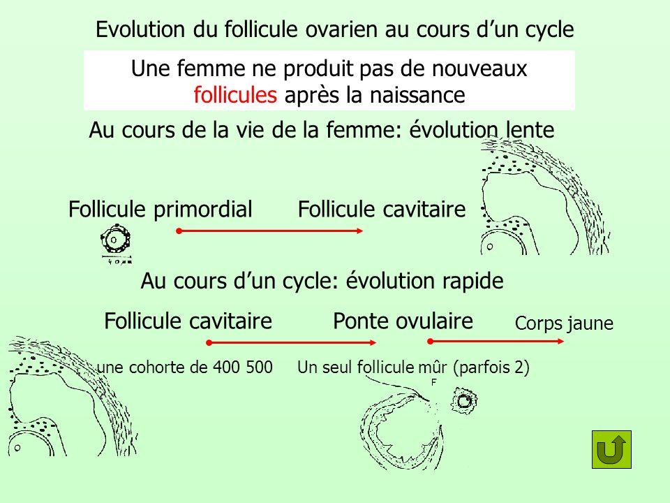 Evolution du follicule ovarien au cours dun cycle Au cours de la vie de la femme: évolution lente Une femme ne produit pas de nouveaux follicules aprè