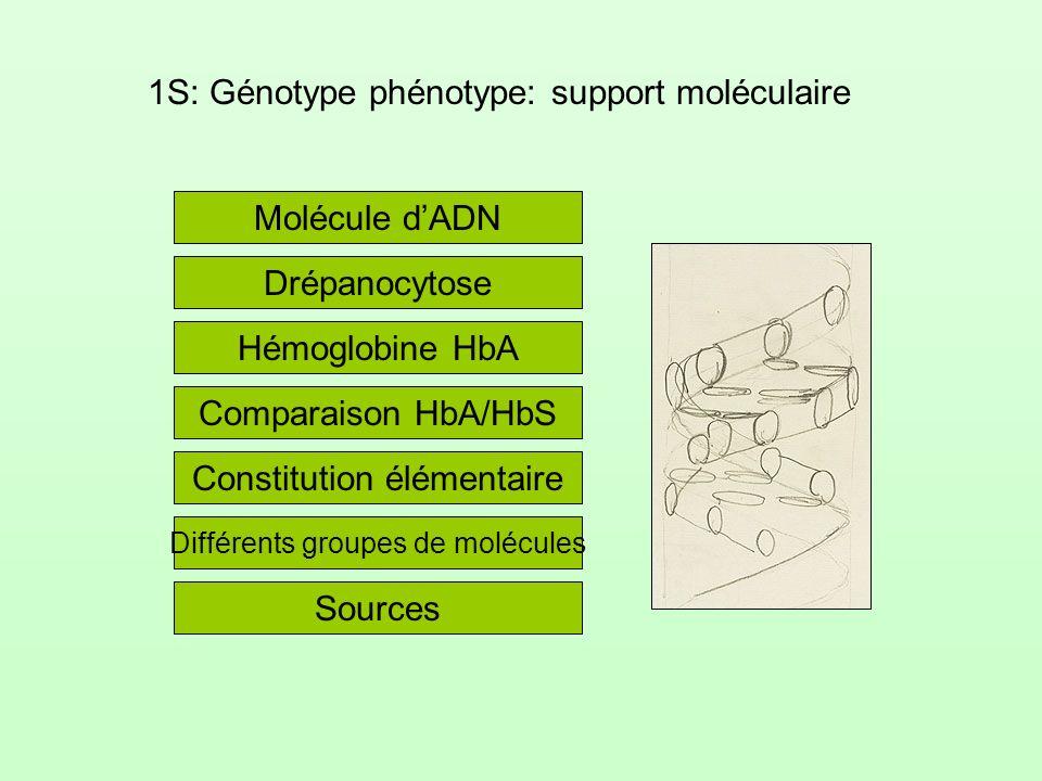 1S: Génotype phénotype: support moléculaire Molécule dADN Hémoglobine HbA Drépanocytose Comparaison HbA/HbS Constitution élémentaire Différents groupe