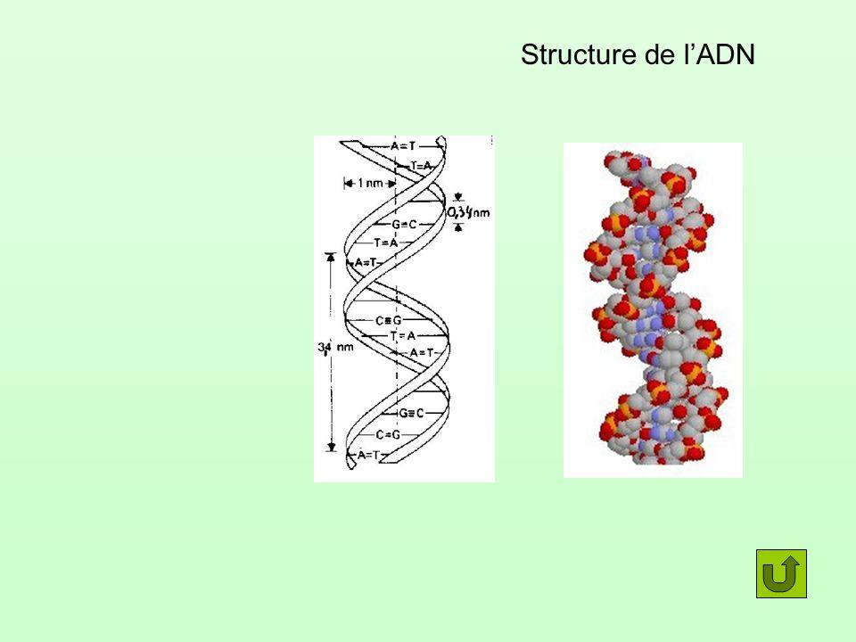 Structure de lADN
