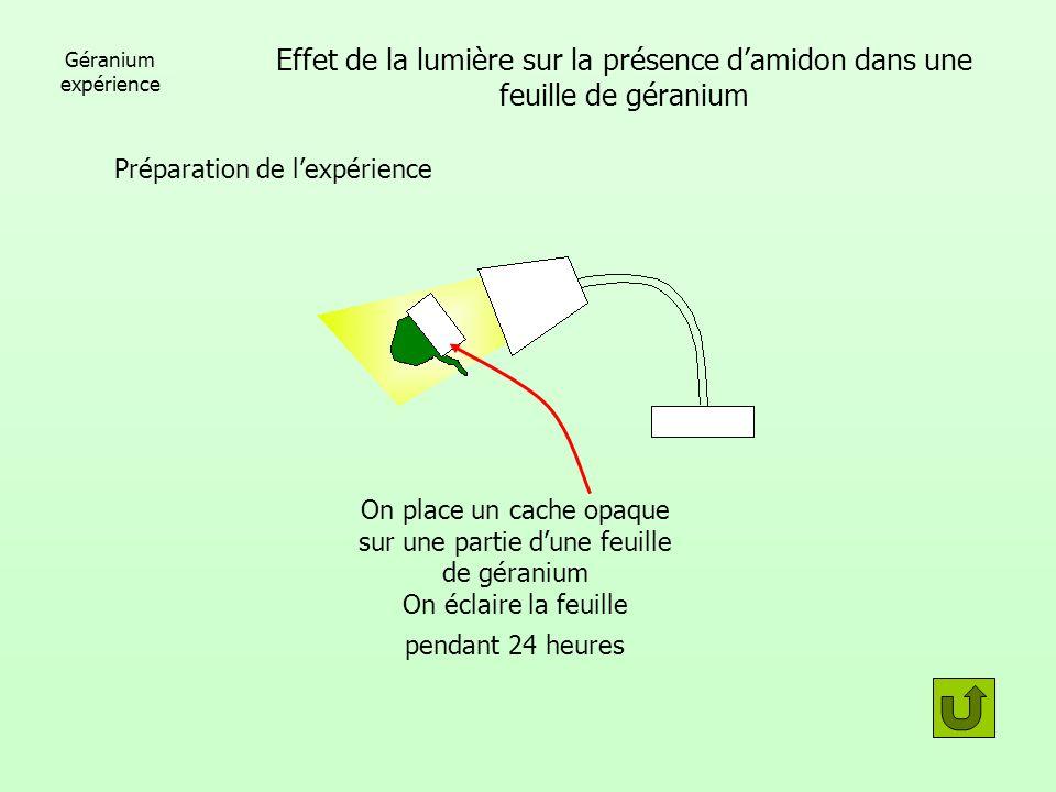 Géranium expérience Effet de la lumière sur la présence damidon dans une feuille de géranium Préparation de lexpérience On place un cache opaque sur une partie dune feuille de géranium On éclaire la feuille pendant 24 heures