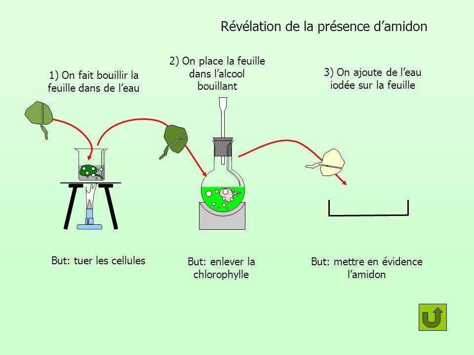 Révélation de la présence damidon But: tuer les cellules But: enlever la chlorophylle But: mettre en évidence lamidon 1) On fait bouillir la feuille d